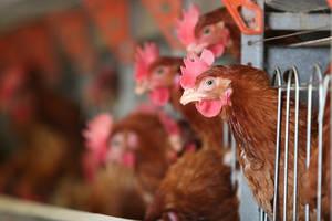 FAO-gripe-aviar