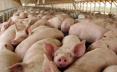 Pigs owned by Agrosuper stand together in a pen in Peralillo, Chile, south of Santiago Tuesday, Dec. 28, 2004. The Chilean pork producing company is implementing a program to eliminate methane fumes from animal waste. (AP Photo/Tomas Munita) CHILE CLIMATE MANURE ROUTE