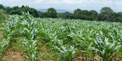 maiz-ciclo-invierno-siembra